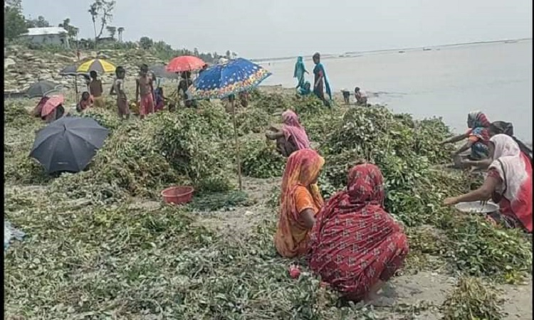চৌহালীতে  যমুনার পানিতে তলিয়ে যাচ্ছে   চরের শত শত বিঘা বাদামের খেত