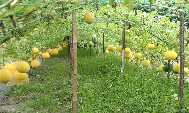 বরুড়ায় হলুদ তরমুজের বাম্পার ফলন : স্বাদে অতুলনীয়