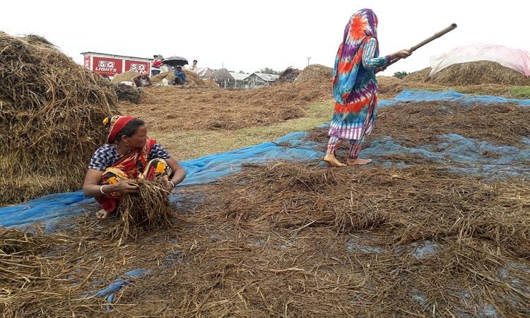 গোয়ালন্দে পদ্মার পানি বেড়ে ডুবে গেছে পাকা ধান, কৃষকের মাথায় হাত