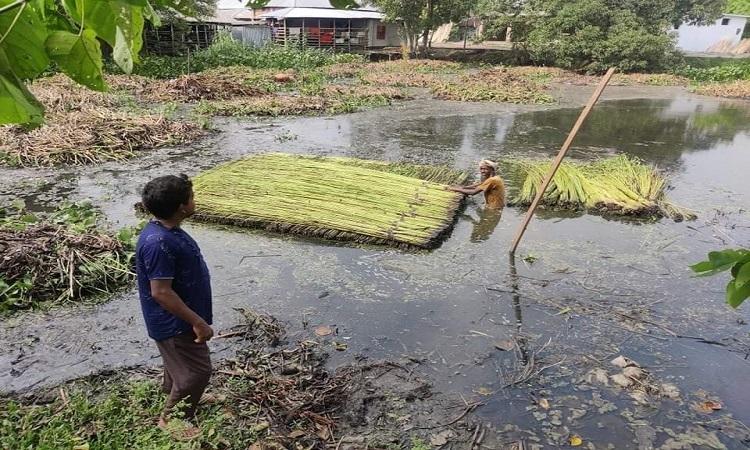 বোয়ালমারীতে পাটের আবাদে লক্ষ্যমাত্রা অর্জিত
