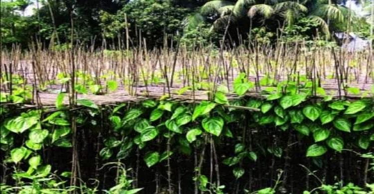 ফেনীর সোনাগাজীর ঐতিহ্য পানের বরজ প্রশিক্ষণ ও সহায়তার অভাবে হারিয়ে যাচ্ছে