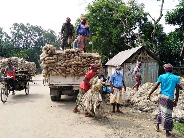 খানসামায় পাটের আবাদ ও চাহিদা বেশি, ভালো দামে কৃষক খুশি